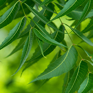 Neem Oil for Hair Image